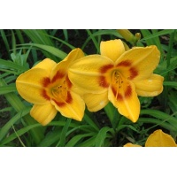 daylilies: PREVIEW PARTY