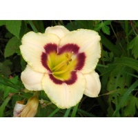 daylilies: DEWBERRY CANDY
