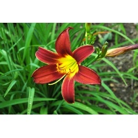 daylilies: SPRING PURPLE