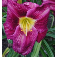 daylilies: STILL NIGHT