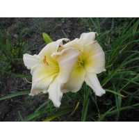 daylily blooms: SILVER SUMMER (VT)