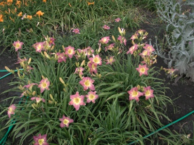Daylily Clumps 2015: PURPLE GIANT (VT)