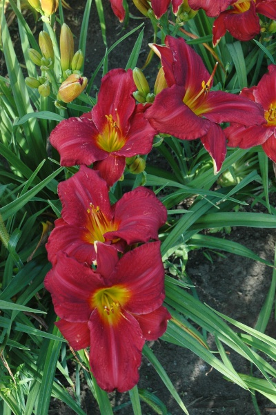 daylily blooms: ROLL TIDE (TO)