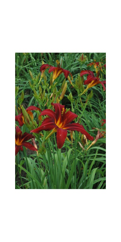 Daylily Clumps 2015: CRIMSON PIRATE