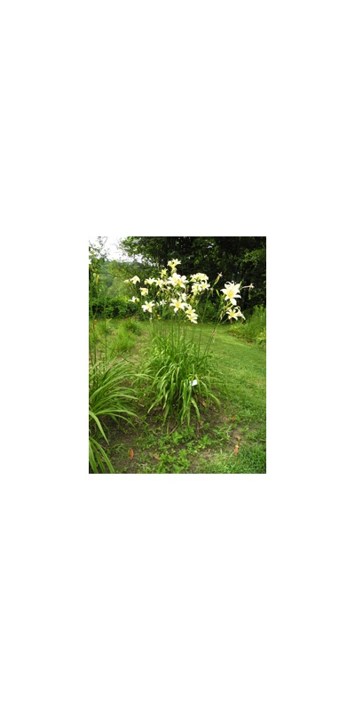 Daylily Clumps 2015: OLALLIE CAESAR'S GHOST