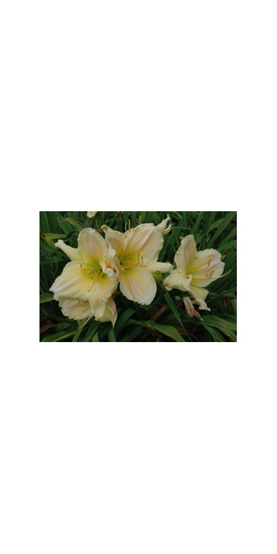 Daylily Clumps 2015: BELIEVE IT