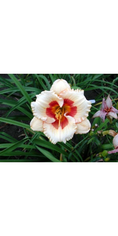 daylilies: CHERRY CANDY