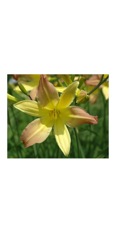 daylilies: EARLY BIRD (VT)