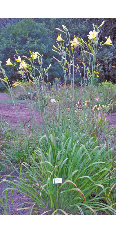 daylilies: TOWERS OF EISENCRAMER