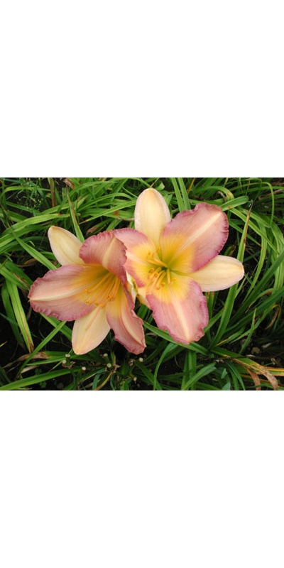 daylilies: PURPLE FADES TO LAVENDER (VT)