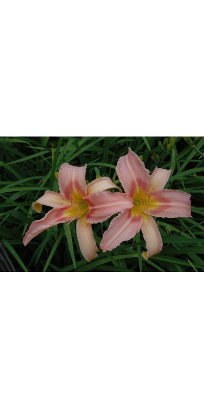 daylily blooms: BECKY SHARPE